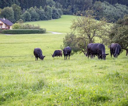 Biohof Humplgut Kühe